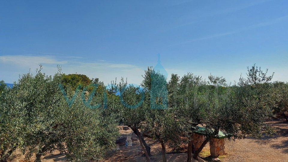 Stadt Krk, angelegter Olivenhain